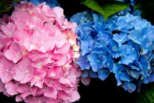girl & boy hydrangea