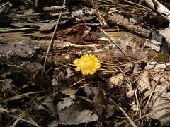 Sinking Creek Mountain - Walnut Mycena Mushroom