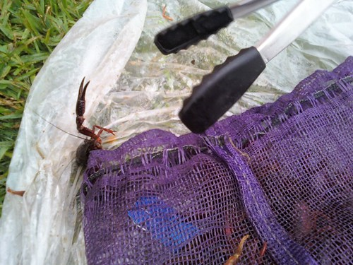 crawfish fight back