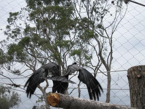 Condor wings
