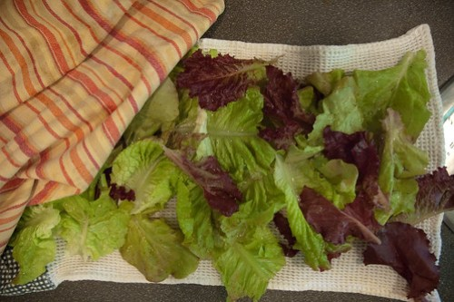 Fresh lettuce from garden