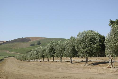 windblown olive trees