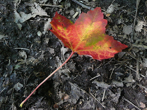 First changed & fallen leaf