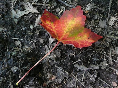 First changed & fallen leaf