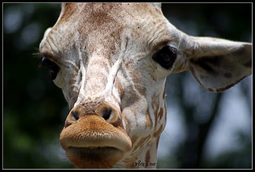 Giraffe - Tallest land animal