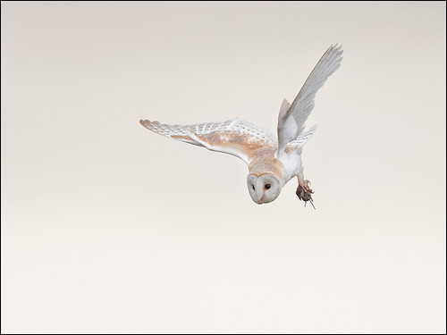 Barn Owl with Prey_4