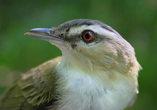 Adult Red-eyed Vireo with brown eye