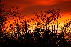 Burning Bush     ( Sunrise over Fife )