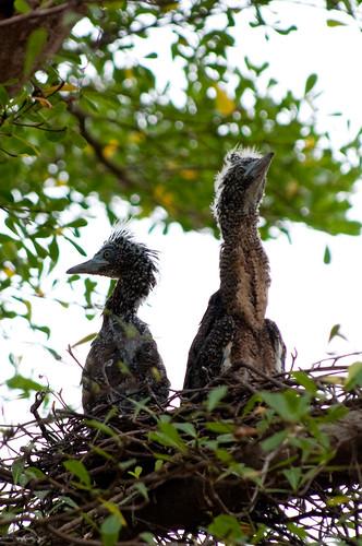 Malaysian Night Heron chicks