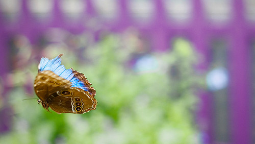 These butterflies were the prize to catch on camera. For one thing, theyre amazingly beautiful because the upper side of their wings is a wonderfully iridescent blue. For another, their flight path is completely unpredictable (unlike that of the other butterflies in the greenhouse), so actually getting them in a frame was a huge challenge. This photo was pure luck.