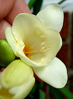 Mum will recognise this - and be very jealous! Its a freesia flower, of course, and it smells absolutely gorgeous.