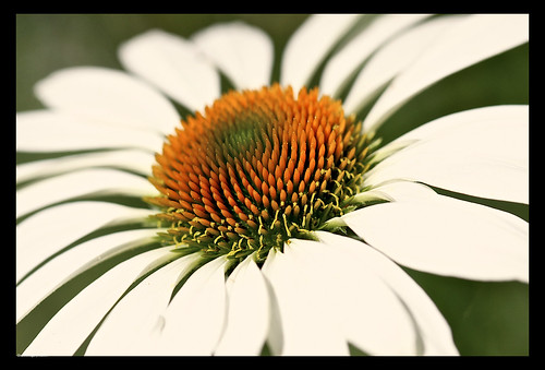 My white coneflower is starting to bloom by you.