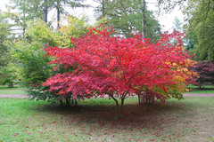 Autumn Colours (Fall Colors) - Red Tree