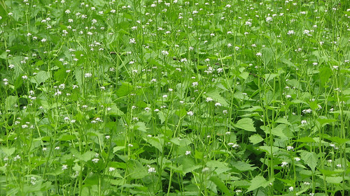 tons of garlic mustard