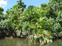 Che vegetazione lungo le rive del Daintree!