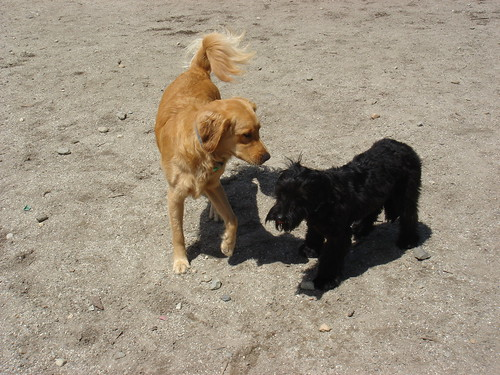 Stella was very calm when greeted by the beautiful Golden Retriever...