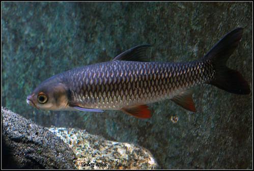 Jelawat (Sultan fish - Leptobarbus hoevenii)