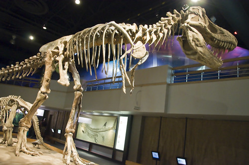 The centre stage of the display, the Tyrannosaurus Rex Fossil