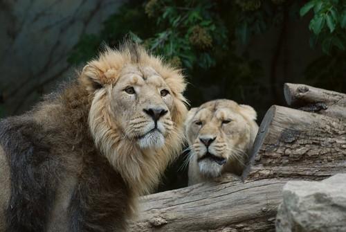 Asiatischer Löwen Jeptur und Sita im Parc zoologique et botanique de Mulhouse
