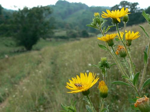 Sinking Creek Mountain - Milkweed Bug and Yellow Flowers