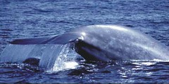 Blue Whale, Balaenoptera Musculus