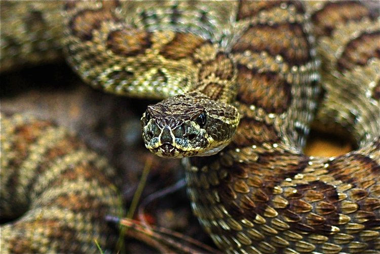 Prairie Rattlesnake