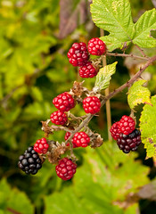 Blackberries now_DSC6125