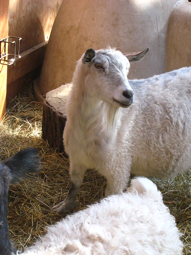 pretty nanny goat