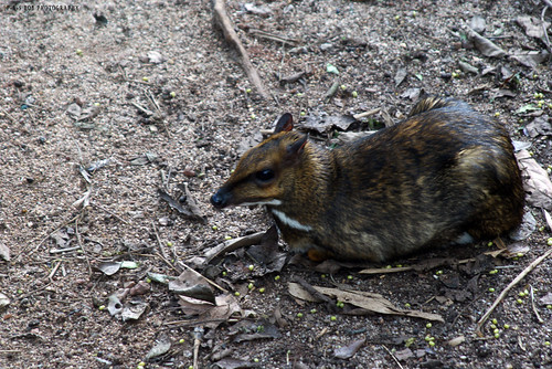 Lesser Mouse Deer (Tragulus javanicus)