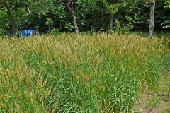 泉の森のコムギ(Wheat, Izuminomori Park, Yamato, Kanagawa, Japan)