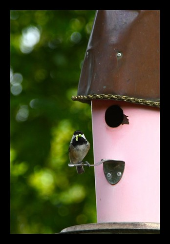 FINALLY..caught mama chickadee bringing a grub to her babies!