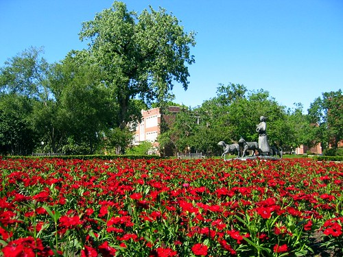 Crimson flowers at the University of Oklahoma.
