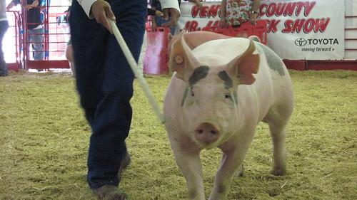 Curious pig.