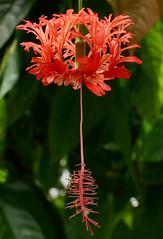 Hibiscus schizopetalus #1