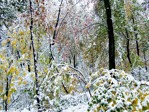 autumn foliage bent under the weight of snow