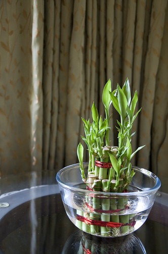 africa sunlight plant nature water glass beautiful vertical closeup table photography leaf stem southeastasia redribbon symbol houseplant traditional happiness nopeople bowl bamboo indoors growth exotic pottedplant tropical curtains greenery fengshui dracaena japaneseculture freshness stalks prosperity cameroon goodluck luckybamboo chineseculture rainforests goodfortune positiveenergy colorimage goodhealth dracaenaceae