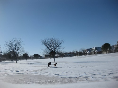 dogs running on the golf course