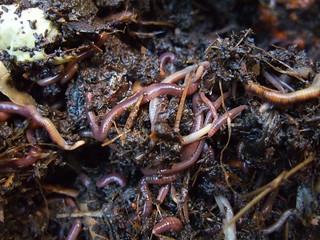 Earthworms!