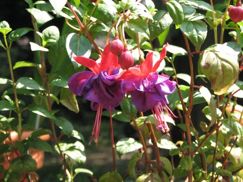 Fuschia blooming