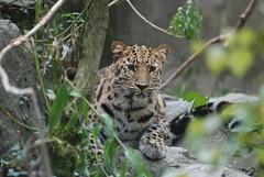Amurleopard im Parc zoologique et botanique de Mulhouse
