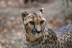 Gepard in der Safari de Peaugres