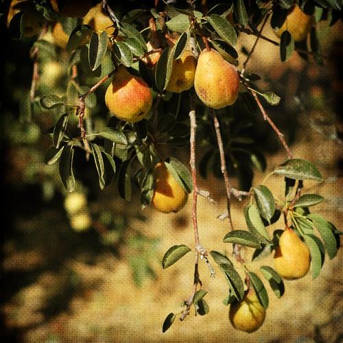 pear textured