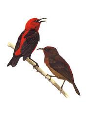 Egigi (Micronesian Honeyeater)