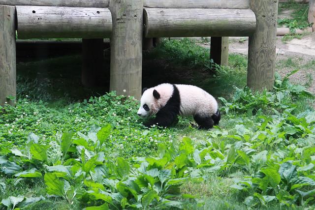 Baby panda Po