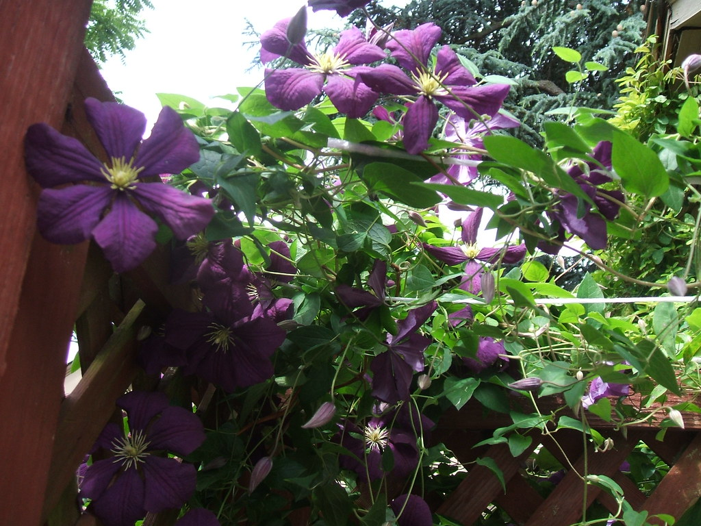 Purple clematis (Jackmanii?)