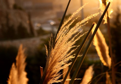 Pampas grss at sunset