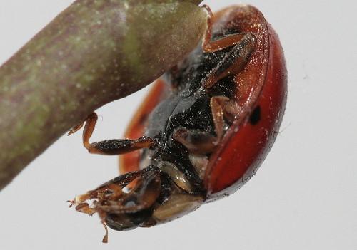 ladybug3a