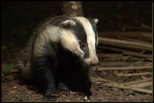 Badger-Female