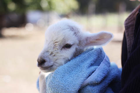 5 day old lamb