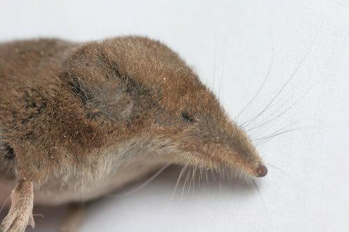 Masked Shrew, Sorex cinereus